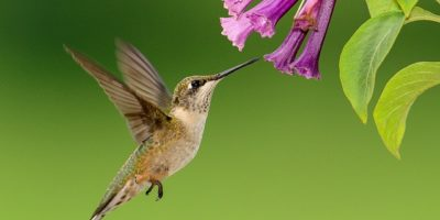 housatonic heritage operation pollination hummingbird